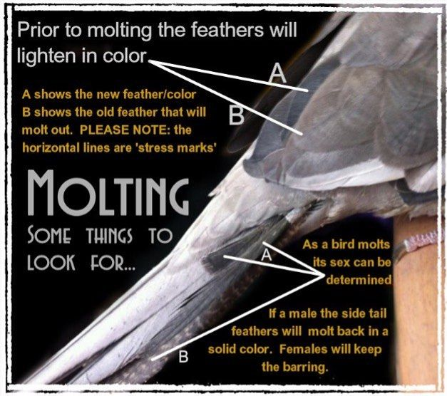 how to tell if your bird is molting