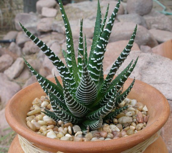 video of how to grow zebra plant