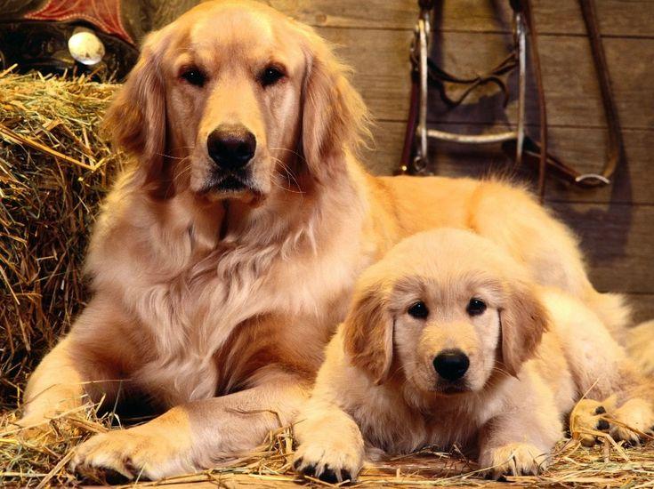 Raças-de-cães-mais-dóceis-2