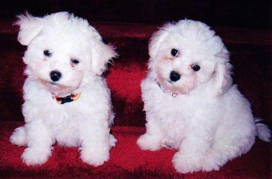 List of Popular Poodle Mix Dog Breeds