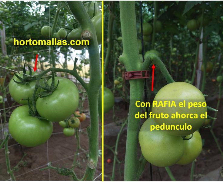 Usas rafia y el peso del fruto está ahorcando el pedúnculo de tus cultivos?  Tal vez sea hora de probar HORTOMALLAS.