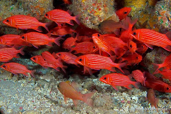 9 best flame fairy wrasse images on pinterest fairy for Discount aquarium fish and reef