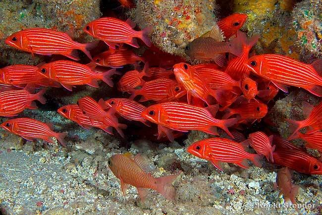 Hawaiian squirrelfish sargocentron xantherythrum beauty for Tropic fish hawaii