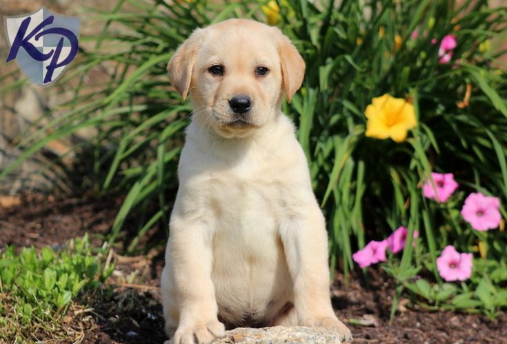 Decker – Labrador Retriever – Yellow Puppies for Sale in PA | Keystone Puppies