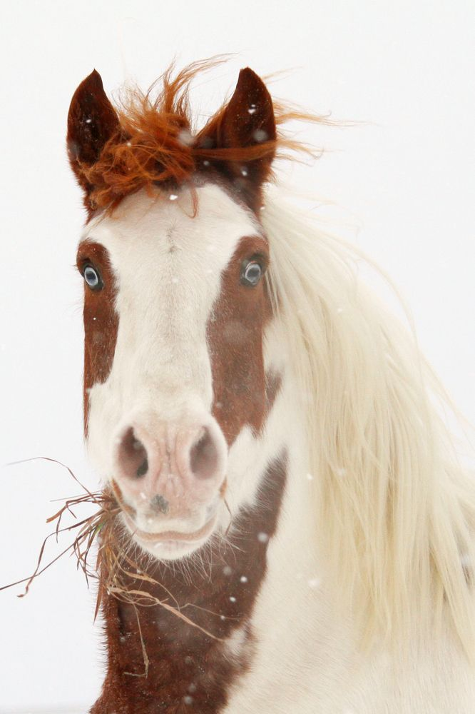 Baby Blues: Baby Blue, Beautiful Horses, Blue Eye Horses, Amazing Eye, Horsessss 3, Paintings Out, Pinto Hors, Snow Off, Horses And Everything Equine
