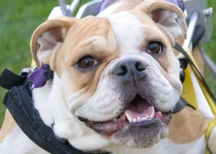 Meet Twinkle, a 1 year Bulldog, English