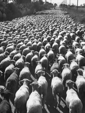 Huge Flock of Sheep Moving Slowly Down a Dusty Road Near Imperial Valley's Town of El Centro Premium Photographic Print by Loomis Dean at Art.com