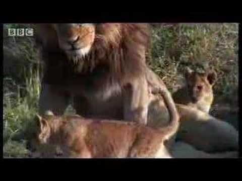 A lion pride - introducing daddy to the cubs - BBC wildlife
