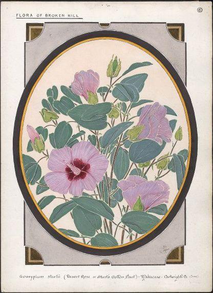 Gossypium sturtii by Australian Painter Ebenezer Edward Gostelow 1866-1944. Sturt Desert Rose (Gossypium sturtii Gossypium sturtianum)