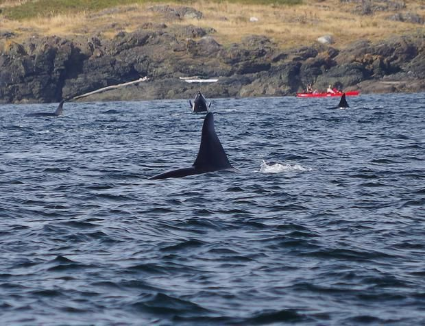 Orcas were breaching  spyhopping  tail slapping and greeting one another.