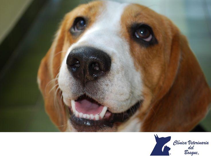 Beagle. CLÍNICA VETERINARIA DEL BOSQUE. El Beagle es una raza canina muy inteligente, y sumamente popular como animal doméstico por su capacidad de adaptación. Es un perro pequeño, cariñoso, jovial y fiel, lo cual hace que sea muy apreciado como mascota casera y como compañero para los niños. En Clínica Veterinaria del Bosque te brindamos toda la asesoría necesaria y atención médica profesional, para atender la salud integral de tu mascota. #veterinaria