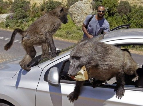 Tourists have their car raided by baboons at Millers Point on the outskirts of Cape Town, South Africa. Picture: AP Photo/Schalk van Zuydam