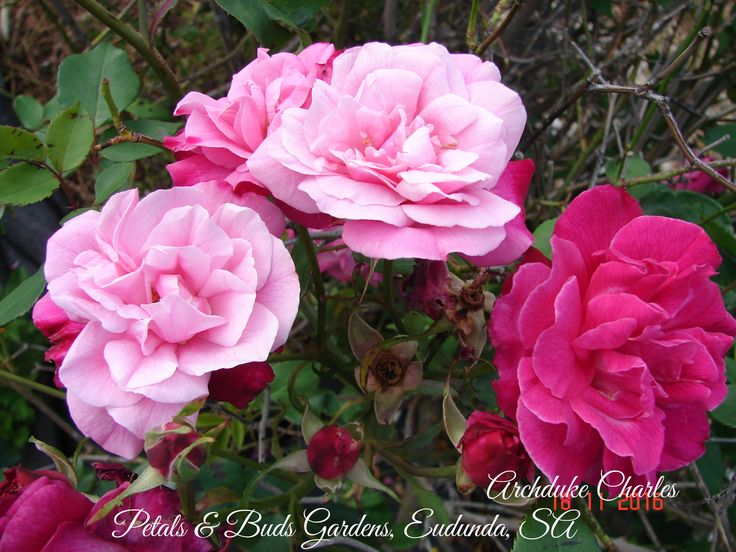 The beautiful and continuous blooming old China rose, Archduke Charles. Growing in my garden.