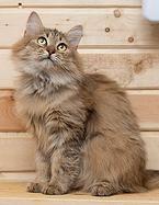 nochnoy-ohotnik | Пушок - парень сибирячок, 7-8 мес. Не привит. Очень спокойный добродушный котенка который будет ходить за вами хвостиком. Братишка дома, а он все ждет. . http://priuyt.wix.com/nochnoy-ohotnik#!-/c1sf1
