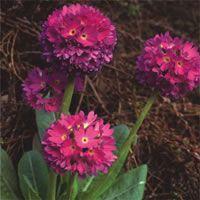 Primula denticulata best blend