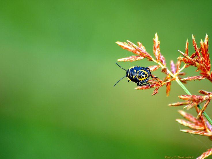 Insectes - Punaises Jaune et Noir
