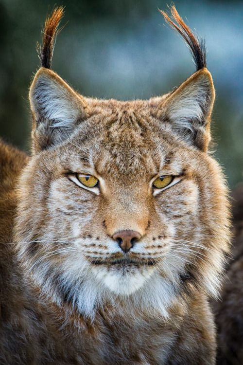 Lynx Portrait by © Mario Moreno Eurasian Lynx (Lynx lynx)