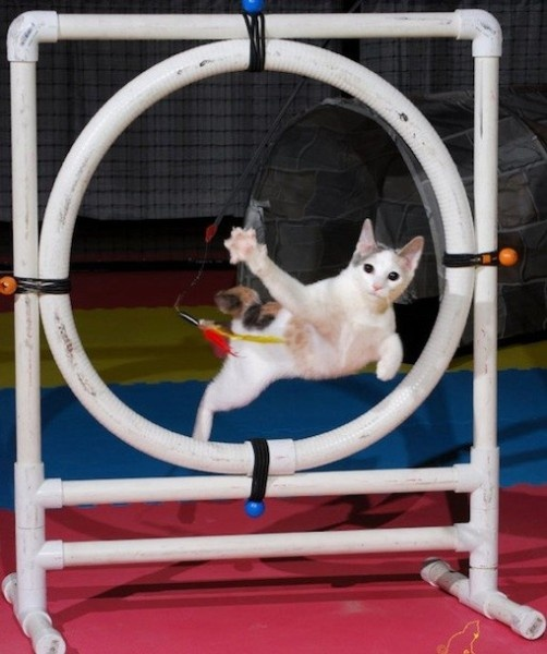 Felines have a tendency to land on their feet and squeeze themselves into the weirdest spaces, but agility courses really put a cat's skills to the test. These kitty obstacle courses include a complex series of hoops, tunnels and jumps. But the  challenges are no match for a cat on the prowl. Current record holder Zoom completed the competition-approved course in 9.97 seconds.