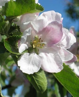 Apple blossom, Æblegaarden B&B, Langeland, Denmark, www.aeblegaarden.dk