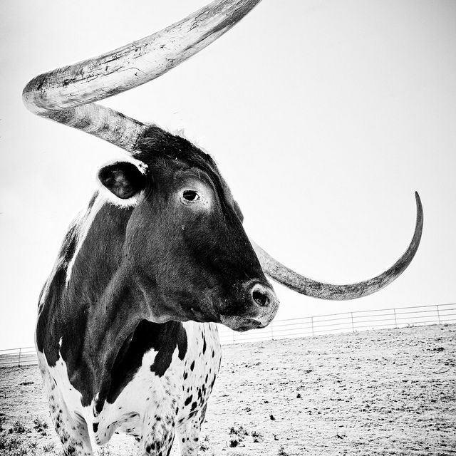 A big ole' Texas Longhorn, givin' you the eye.  I LOVE THIS PHOTO, y'all! Great B&W shot, better than if it was in color.  Want a print of this for my office...