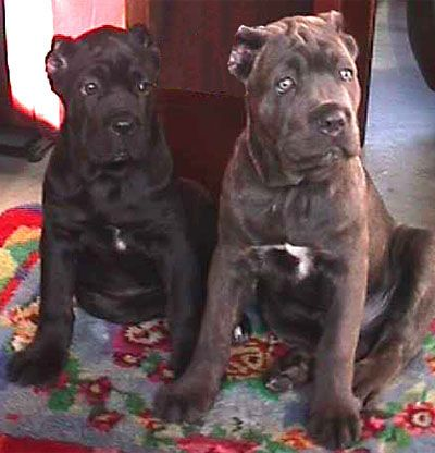 Cane Corso Mastiff - intense looking puppies, aren't they - beautiful!