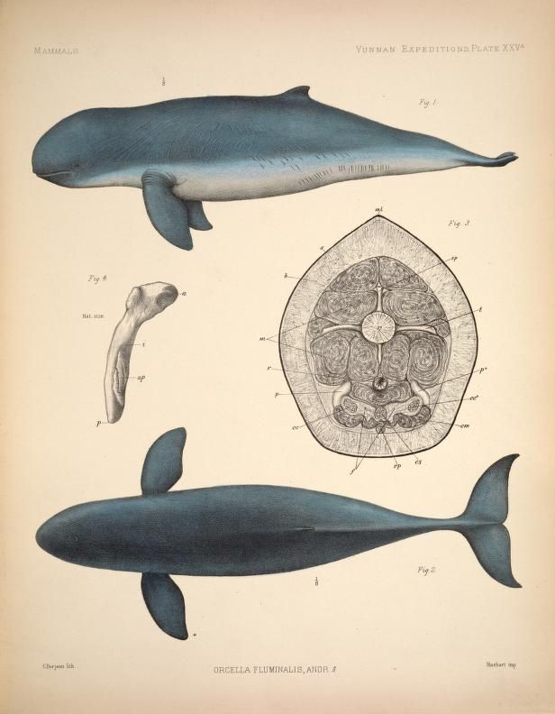 v.2 (1878) - Anatomical and zoological researches: comprising an account of the zoological results of the two expeditions to western Yunnan in 1868 and 1875; and a monograph of the two cetacean genera, Platanista and Orcella. - Biodiversity Heritage Library