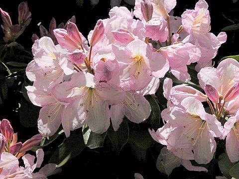Hirsutum.info -- Rhododendron Hybrid: Caroline high-resolution picture