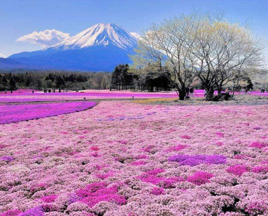 Japan's Beautiful Flower Fields