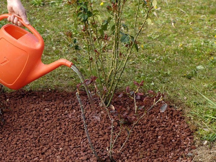 Piantare le rose è un'operazione che si fa in primavera o in autunno. Le rose vegetano bene in zone con buona luminosità e ben arieggiate