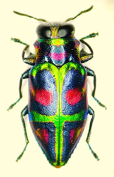 Bug πουλί φωτογραφίες