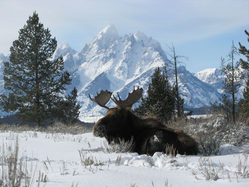 110 best everything moose images on pinterest elk for Best family winter vacations