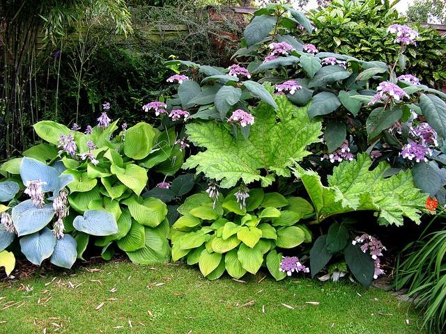 hydrangea aspera hydrangea aspera mark mcnee file hydrangea aspera macrophylla1ume jpg. Black Bedroom Furniture Sets. Home Design Ideas