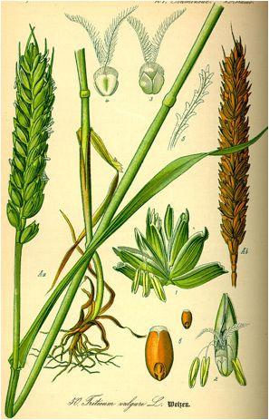 Triticum, tarwe, eenkoren, spelt, brood, species