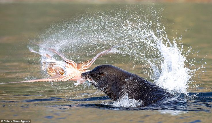 Sucks to be you! The seal thrashes the octopus around in the water as it holds on tightly with its mouth, making sure its meal isn't lost