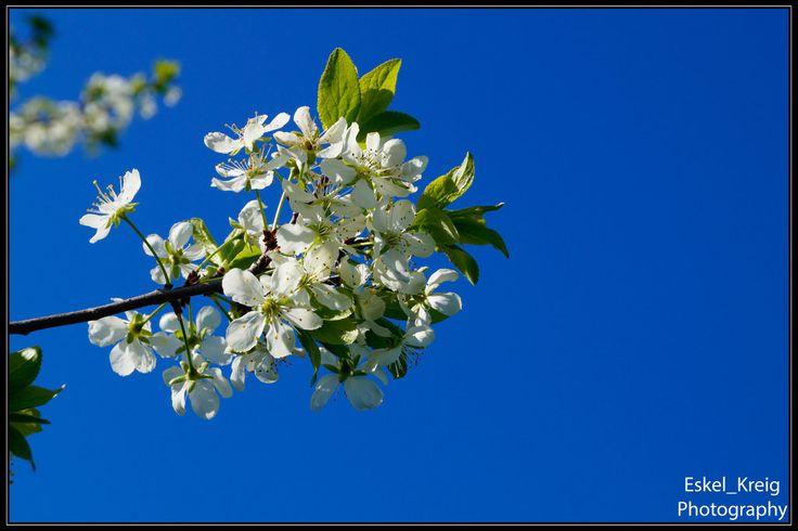 Fflowering plum