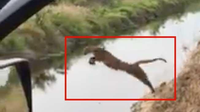 A rare panther in Florida is seen leaping over a wide canal with its mother and sibling on the prowl.