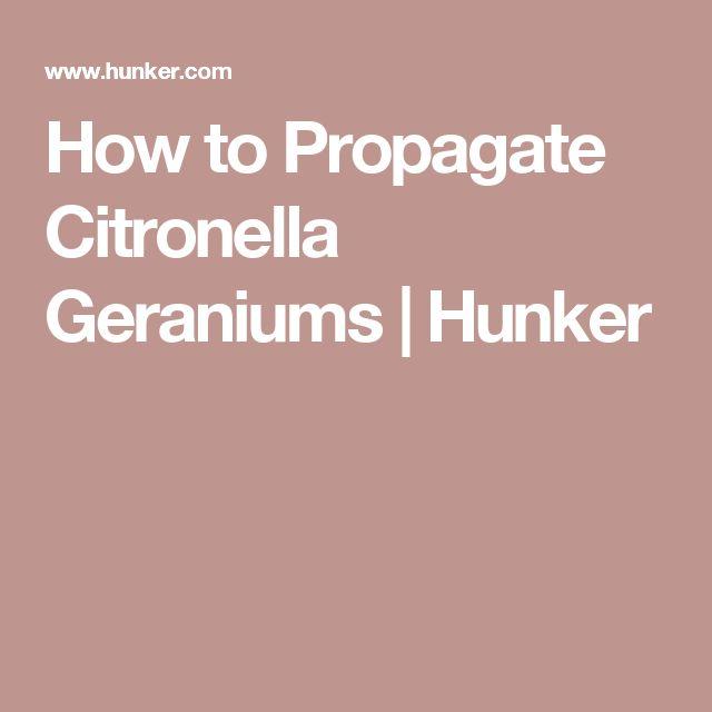 How to Propagate Citronella Geraniums | Hunker