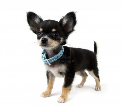 Black And Tan Chihuahua Puppy (Images And Stock Photography, Image 13555461)