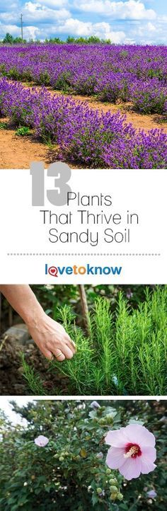 Sandy soil has its advantages. It drains well, is easy to dig in and warms up faster in spring than clay soils, meaning that plants start growing earlier - but there are fewer species adapted to it compared to other soil types. Sandy soil is relatively uncommon in nature and has several distinct disadvantages - it does not hold on to either water or nutrients for long. | 13 Plants That Thrive in Sandy Soil from #LoveToKnow