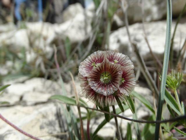 Genellikle 5-10cm nadiren 45cm kadar boylanabilen, step, orman açıklıkları ve nadas tarlalarında, 350-2450m yüksekliklerde yetişen bir yıllık otsu bir bitkidir. Gövde dik ve tüylüdür. Kazık kök oluşturur. Alt yapraklar mızraksı, dikdörtgenimsi, tam kenarlı, üst yapraklar şeritsi derin lobludur. Çiçeklenme dönemi Mayıs-Temmuz ayları, çiçek rengi mavi-eflatundur. 5er taç yapraklı birçok çiçekcikten oluşan çiçek sap üzerinde baş şeklindedir. Çiçekler geçtikten sonra meyvenin görünümü…