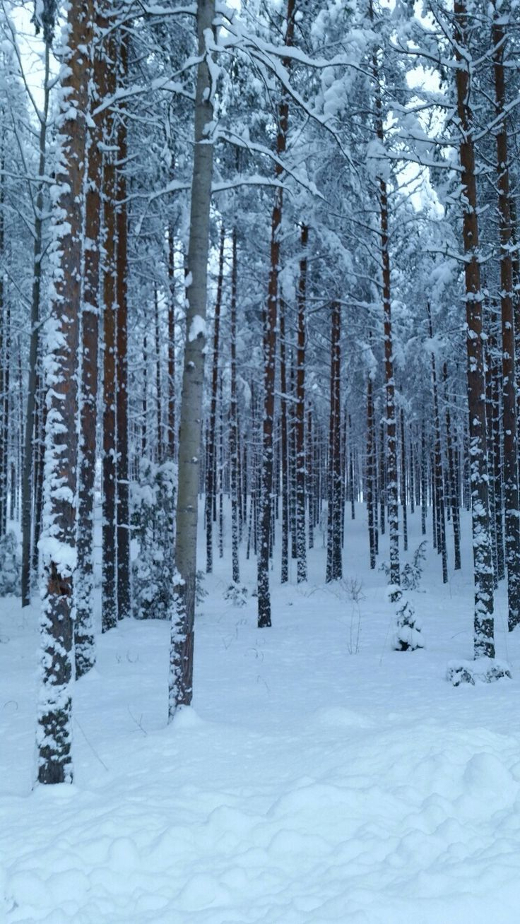 Pinewood  - soothing  view on the way to home in south east Finland Feb 2015.