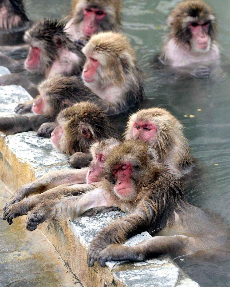 Des macaques japonais se reposent dans un spa naturel à Hakodate.