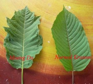kratom, mitragyna speciosa, what is kratom, what is, where to, where to buy kratom, buy kratom, order kratom, order kratom online, kratombible.com, kratombible.ca, kratombible, kratom guide, kratom information, kratom benefits, kratom blog, kratom vlog