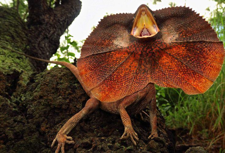 Lagarto de cuello con volantes y sus peculiaridades    – Animal book