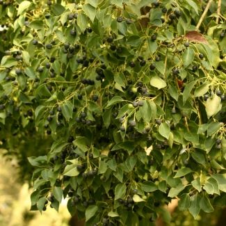 Camphor tree | Cinnamomum camphora - removed and still removing. CARA 2002 – Category 1 but only in Limpopo, KZN, & Mpumalanga NEMBA - a. 1b in Eastern Cape, KwaZulu-Natal, Limpopo and Mpumalanga.