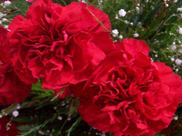 Cravo vermelho: Amor vivo, admiração