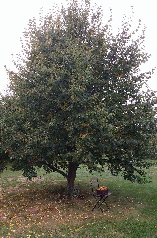 Lipa we wrześniu. Duże drzewo przyda się w średniej wielkości ogrodzie. Latem w cienu lipy odpoczywamy od upału i urządzamy pikniki.