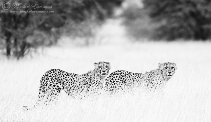 Male cheetahs | Kgalagadi Transfrontier Park, South Africa