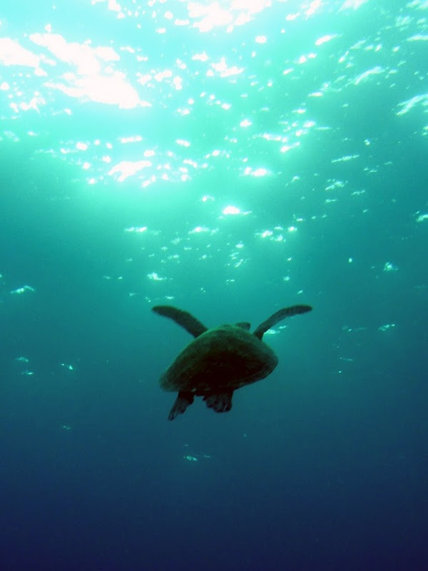 Australia - Great Barrier Reef - Miln Reef - A Green turtle swimming to the surface
