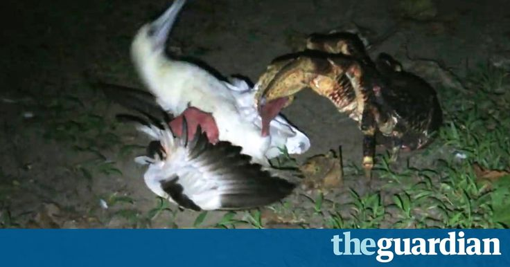 'Pretty gruesome': giant coconut crab seen hunting birds